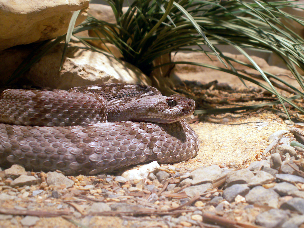 A black-tailed rattlesnake coiled up outside of its den