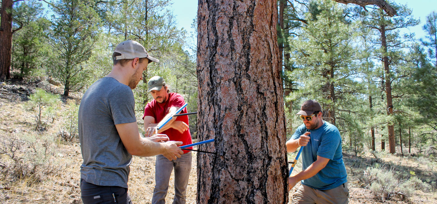 Matt Dannenberg, Paul Szejner, and Erik Anderson core a tree in Northern Arizona's Kaibab National Forest.