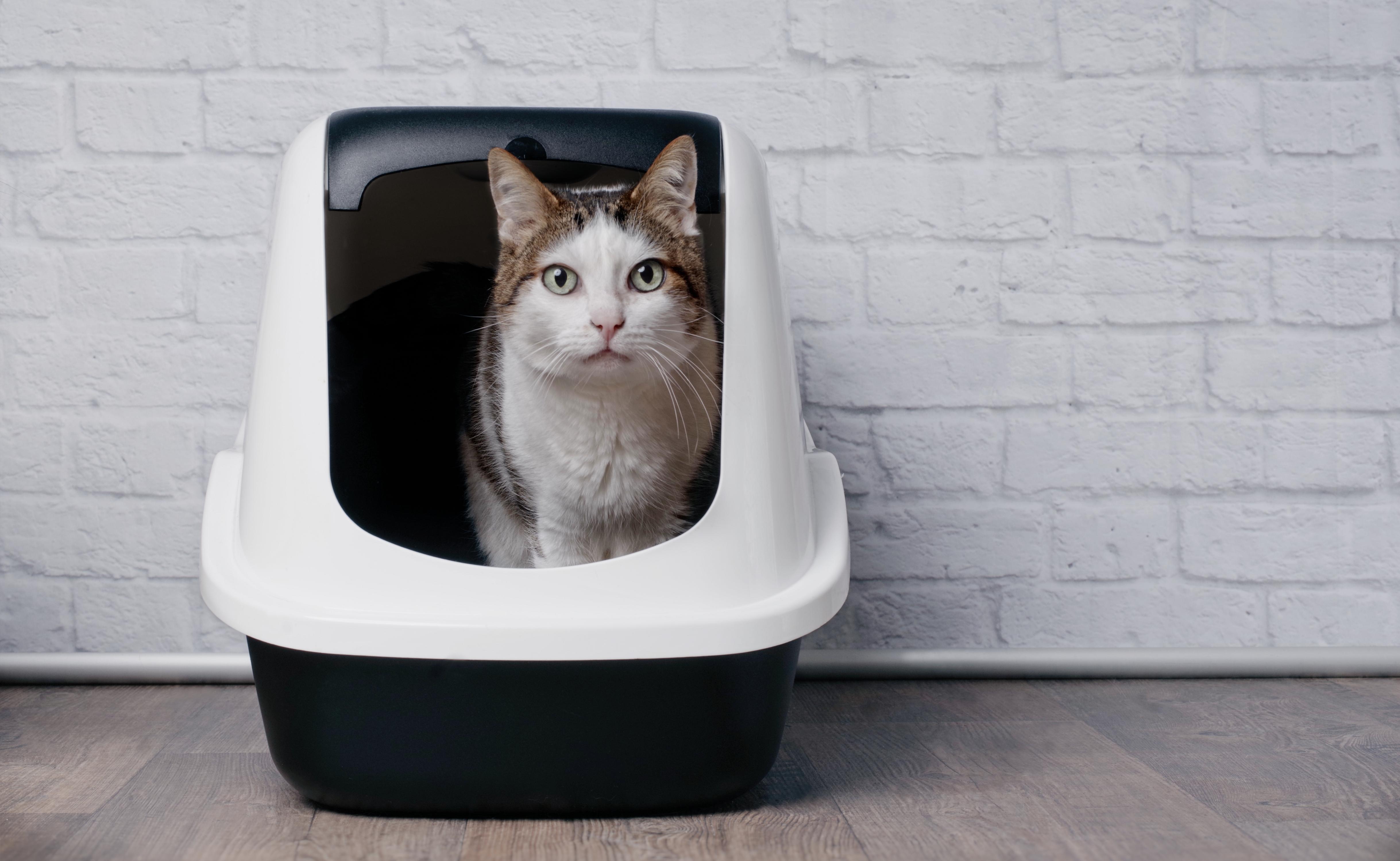 Tabby cat standing in litter box