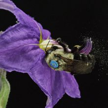 A female Bombus impatiens (bumblebee) sonicating a deadly nightshade blossom in the UA EEB greenhouse.