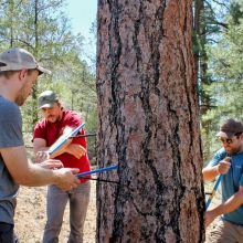 Matt Dannenberg, Paul Szejner, and Erik Anderson core a Ponderosa pine tree in Northern Arizona's Kaibab National Forest. (Photo: Emily Litvack/RDI)