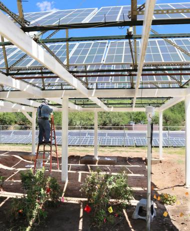 A man is on a ladder working on the large solar panels in the shade of the solar panels on a sunny day. There are vegetable plants growing in the foreground.