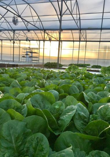 Hydroponic lettuce being grown by merchant gardeners at their urban garden in tucson Arizona at sunset