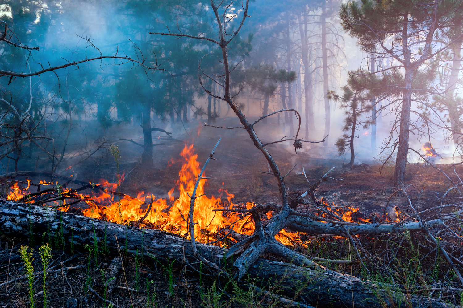 photo of wildfire burning a log on the ground in a forest